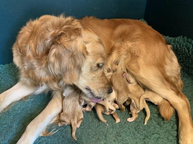 Hvalpe født fredag 28/8 der kom 1 tæve og 6 hanner. Alle trives godt, tager på, mor Saga er fantastisk